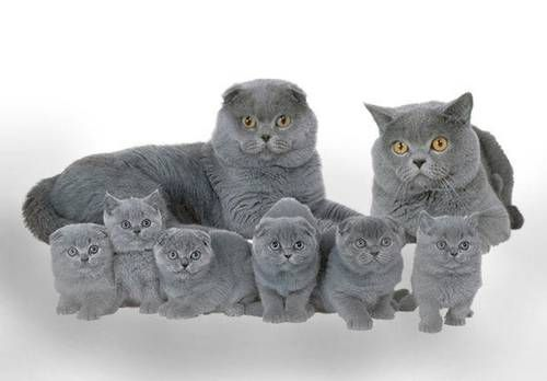 Scottish Fold Kittens Someday I Will Have One Scottish Fold Kittens Beautiful Cats Flat Faced Cat