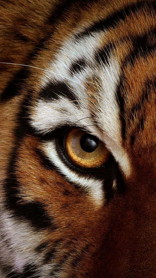 The Eye of The Tiger...   Animals beautiful, Animals wild