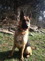Adopt Calvin On German Shepherd Dogs Beautiful Dogs Shepherd Dog