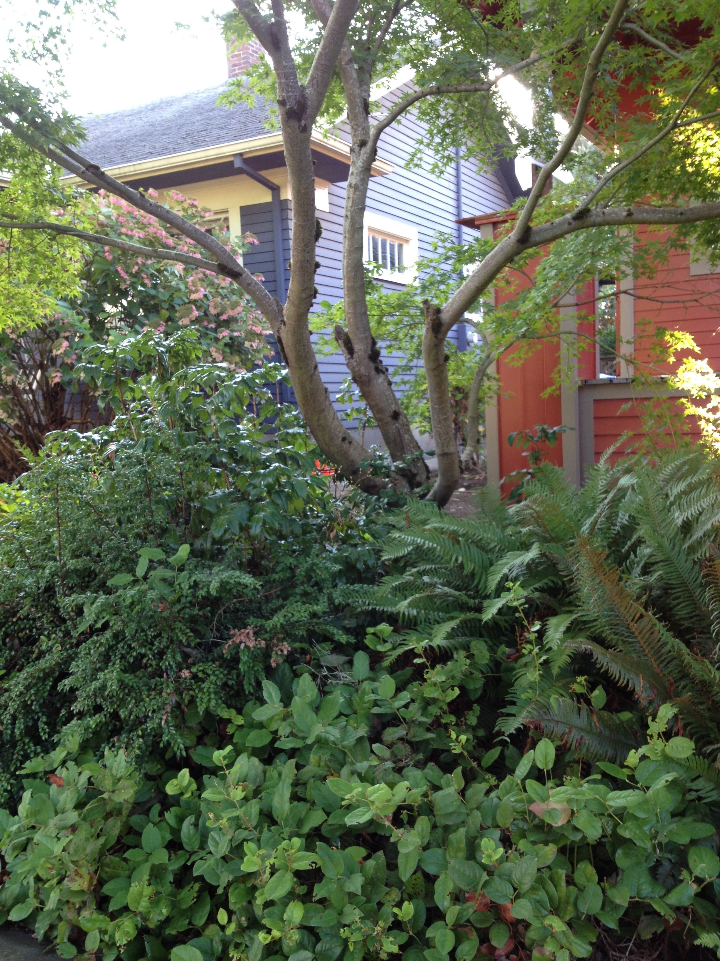 Nw Natives Inspiration Lush Shade Planting Ferns Salal Oregon Grape And Evergreen Huckleberry Planted In Evergreen Garden Garden Yard Ideas Shade Garden