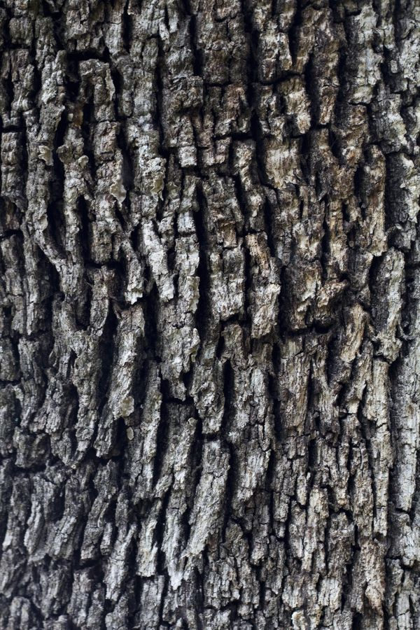 Holm Oak S Bark With Images Oak Tree Bark Woods Photography