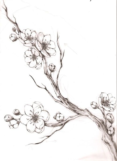 Japanese Cherry Blossom Tree Pencil Drawing