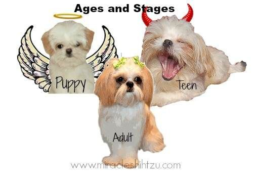 Surviving The Shih Tzu Adolescence Stage Shih Tzu Animal Books