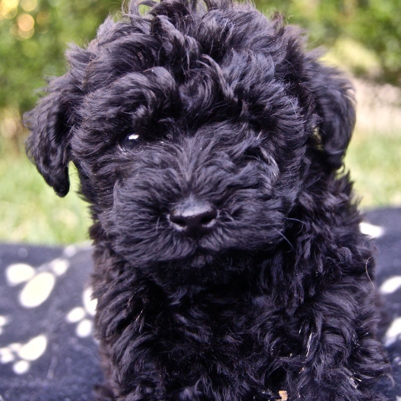 Schnoodle Breeders Sydney Nsw Australia Scnhauzer X Poodle Puppies Schnauzer Poodle Cross Looking For Homes Schnoodle Poodle Puppy Pup