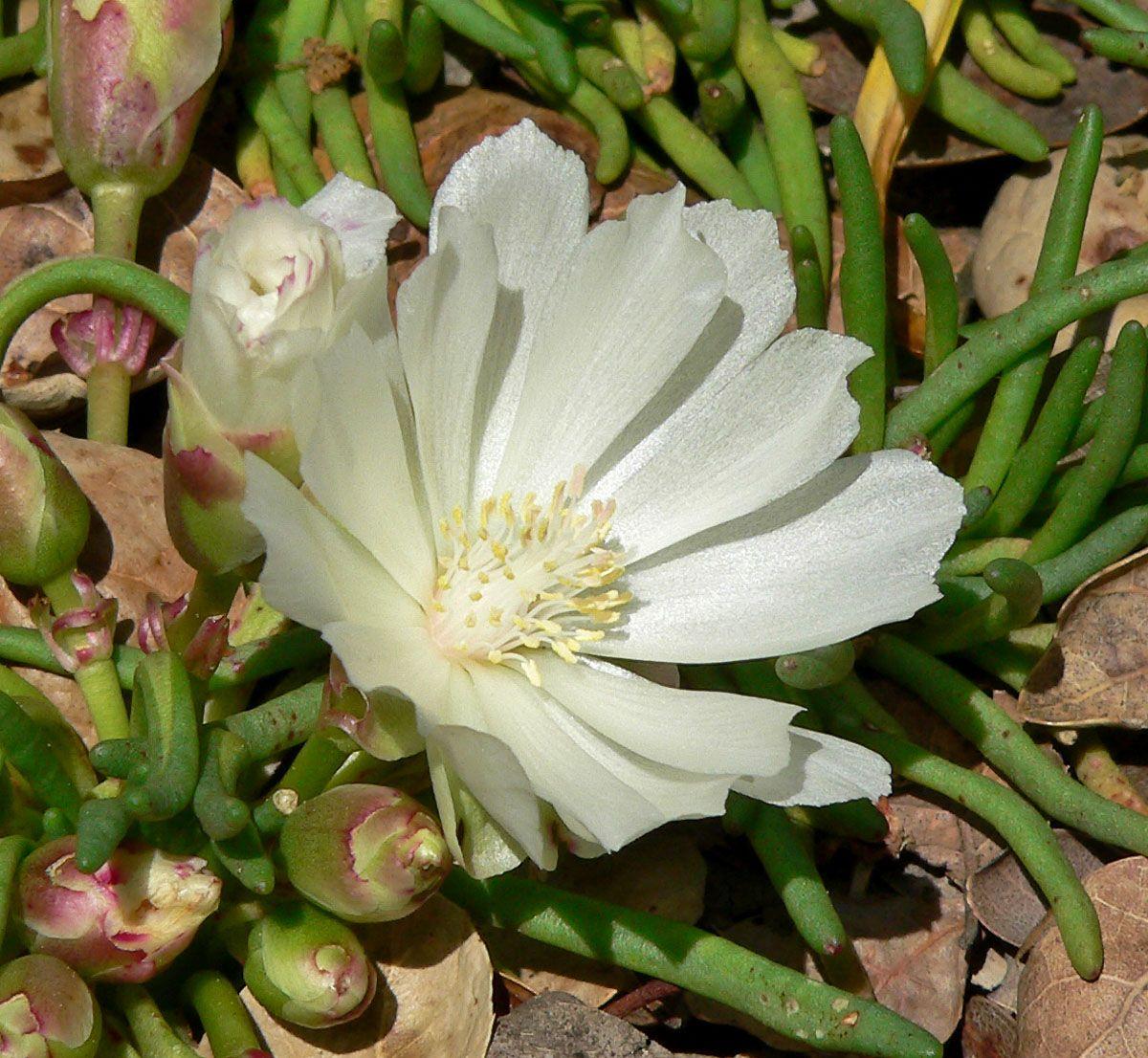 Lewisia rediviva [Family Portulacaceae] Plants