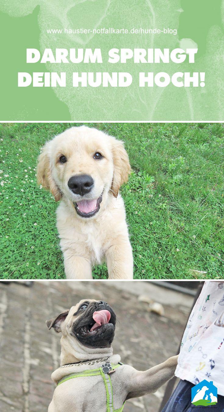 Hilfe Mein Hund Springt Hoch Hunde Hunde Erziehen Und Haustiere