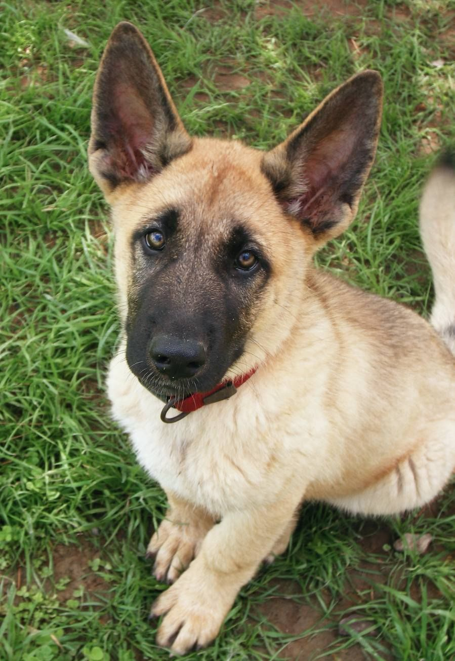 Belgian malinois. Going to get one. ) Puppies with blue