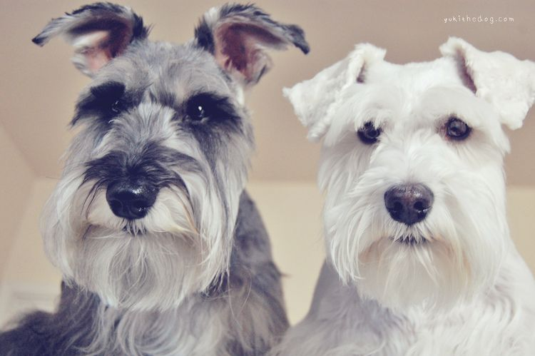 A Lesson for Our Human by Melissa Heard #Miniature #Schnauzer