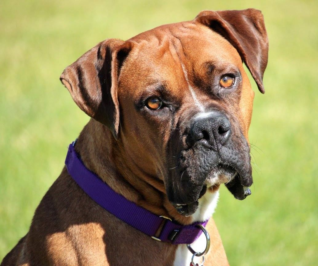 Boxer dog for Adoption in Chinook, WA. ADN597572 on
