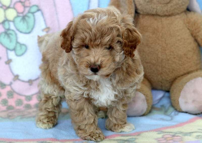 Ckc Reg D Tiny Toy Poodle Toy Poodle Puppies Toy Poodle Poodle