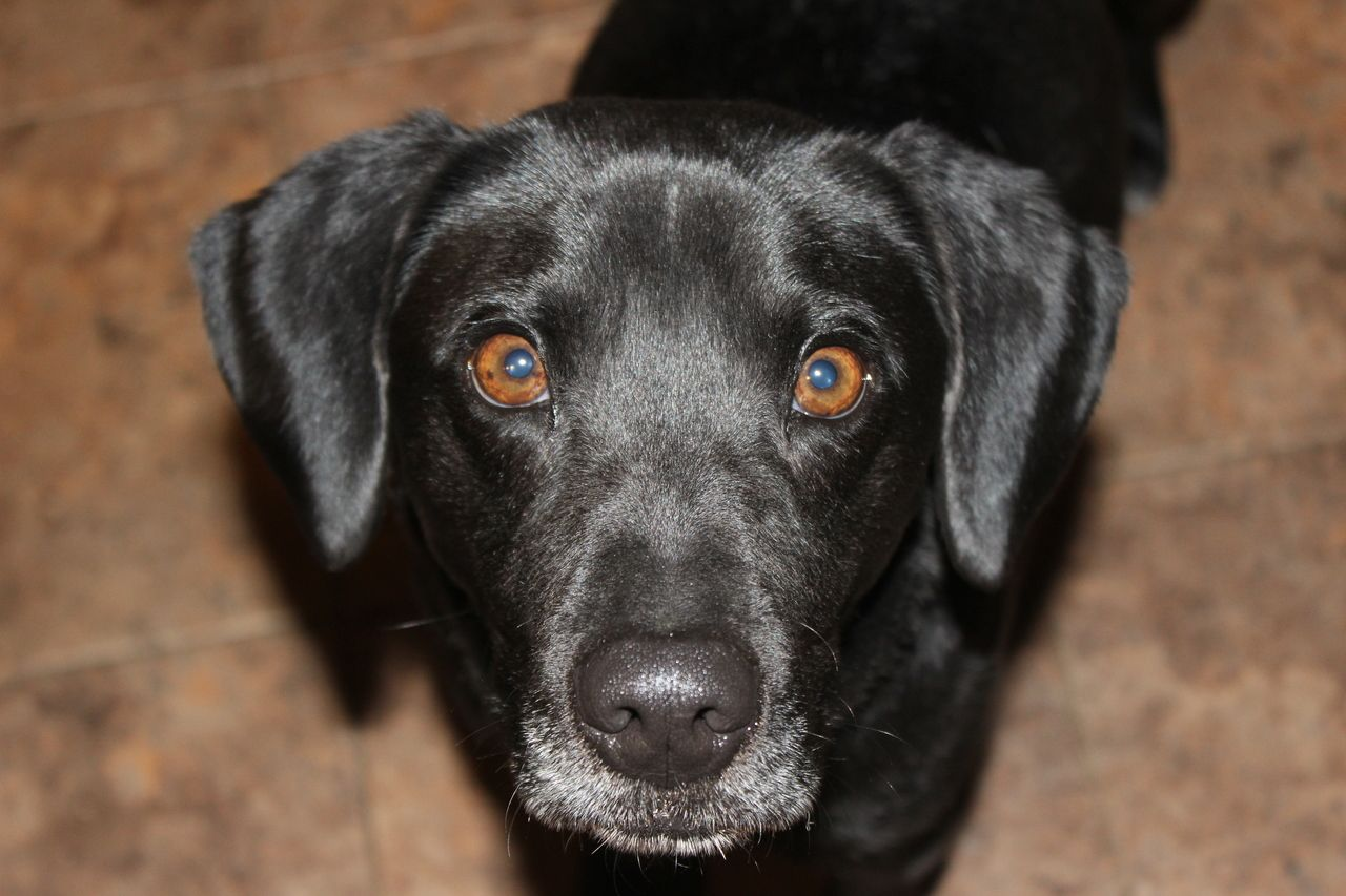 Adopted About Stowaway Stowaway Is A Handsome 3 Year Old 25 Lb Labrador Retriever Beagle Mix That Was Facing Dog Adoption Labrador Retriever Pet Adoption