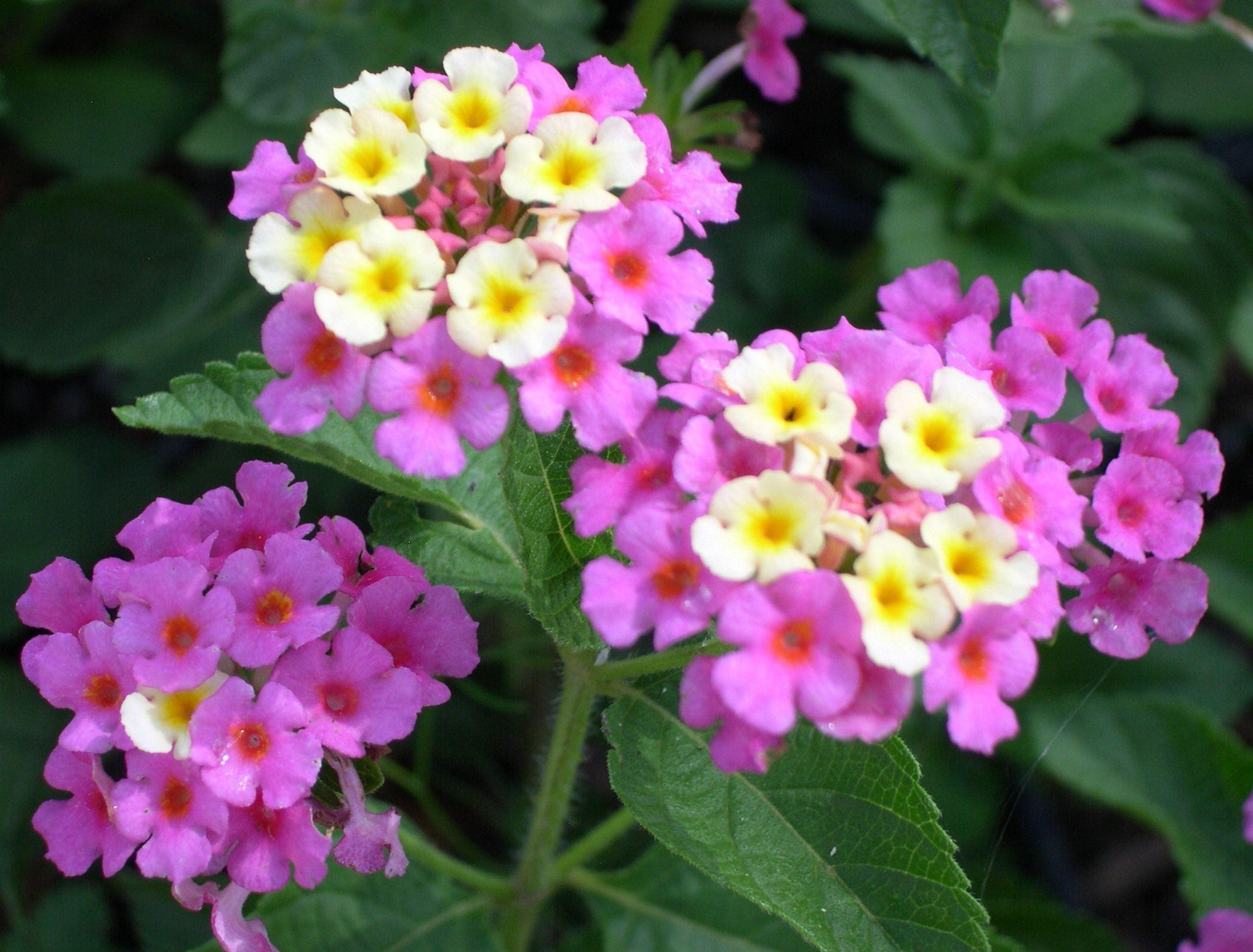Lantana Hd Wallpapers Lantana Plants Perennial Flowering Plants