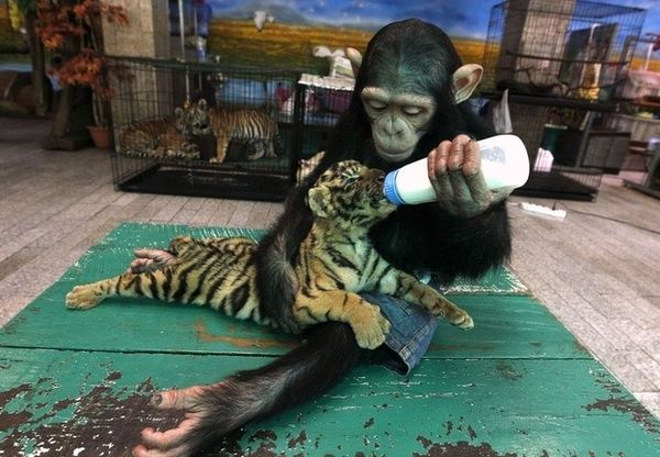 a young chimp feeding a baby tiger! aw.