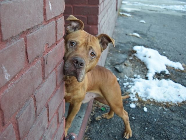 Blaze 15517 Brooklyn To Be Destroyed 12 14 17 A Volunteer Writes It Was Love At First Site With Blaze What A Face He Is A Li Pets Dog Adoption Animals