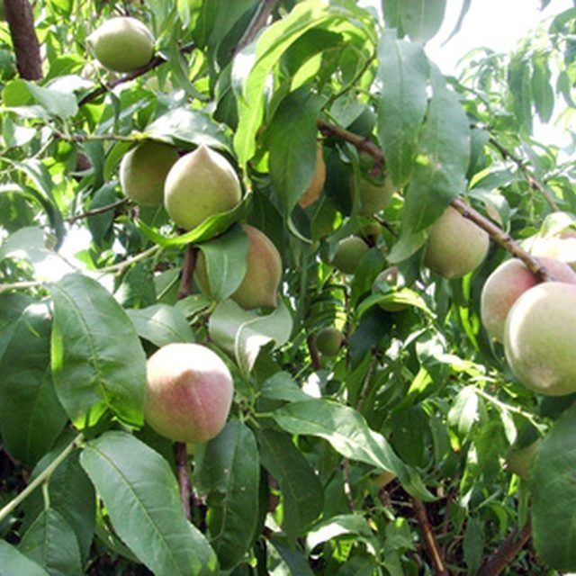 How To Keep Ants Away From My Peach Trees Tree Care