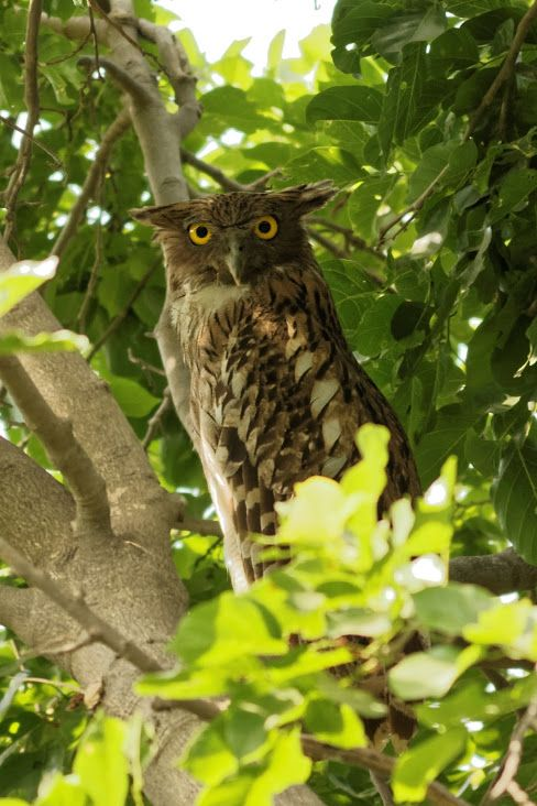 Brown fish owl Ketupa zeylonensis  A large horned owl found in deciduous and evergreen forests close to rivers and waterbodies, it is the largest owl seen in India. Although initially described from Sri Lanka (then Ceylon), it ranged once upon a time from Israel in middle-east to South east Asia.