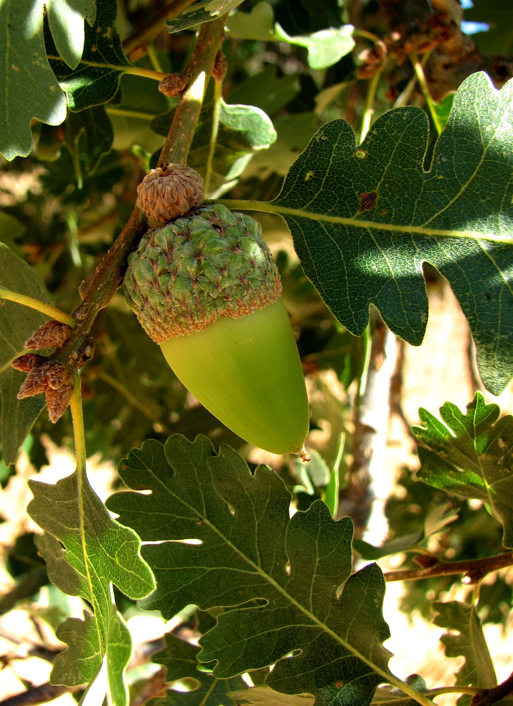 The Valley Oak Tree Acorn - Across The Continent In The State Called California, A Stately Valley Oak Tree Presides Over An Open Expanse Of Golden Summer Grasses That Gently Bow In The Afternoon Breeze