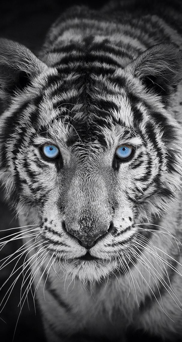 0bb6c4f15c494 Fondo de Pantalla Animales Tigre Blanco