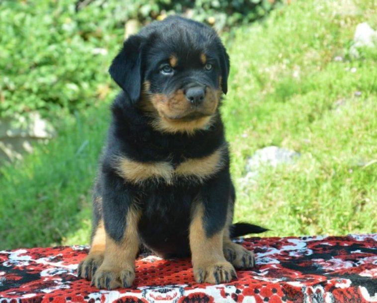 Rottweiler Puppies For Sale In Ukraine Rottweiler Puppies Puppies For Sale Rottweiler