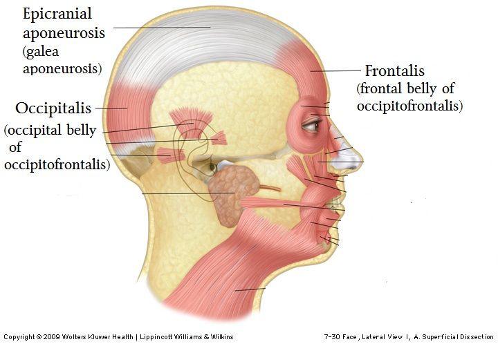 epicranial aponeurosis galea aponeurosis anatomy anatomy note