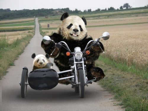 pandas riding motorcycles   Of course Pandas can ride motorcycles   Black and white animals= Fav