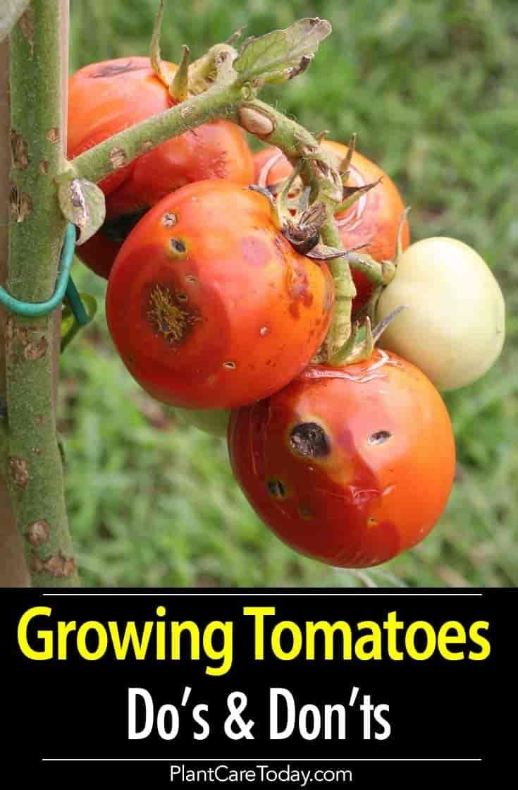 Tomato Plant Care 8 Do S And 5 Dont S Growing Tips 400 x 300