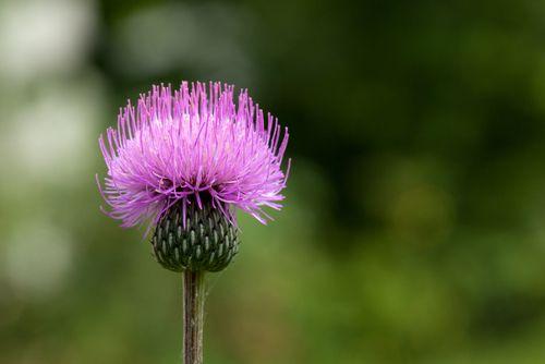 Silybum Marianum Seeds Benefits & Medicinal Uses