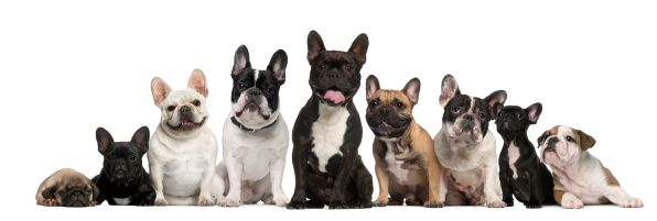 Oliver S Blog The French Bulldog Frenchie Facts History And