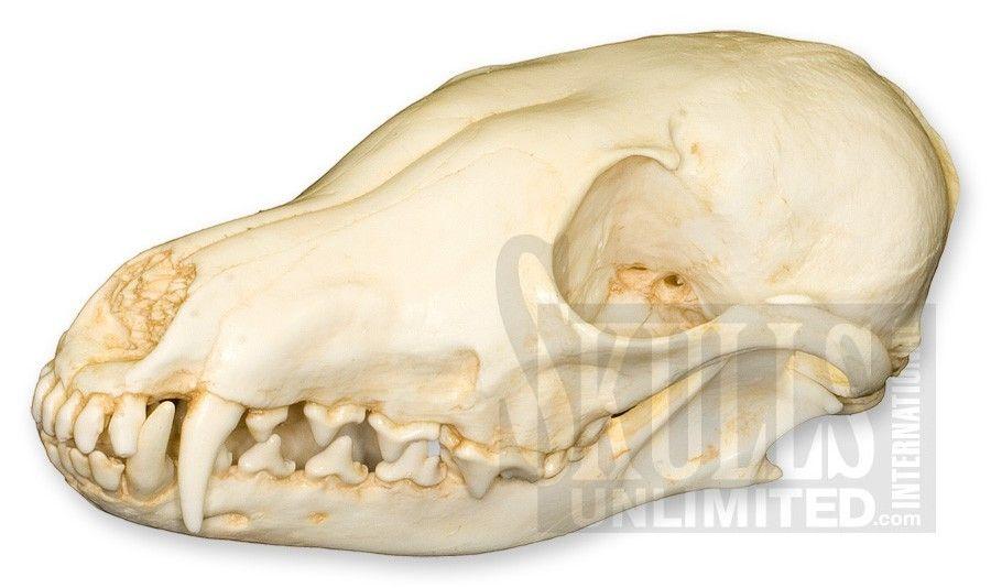 $71 Arctic Fox Skull ( Replica) | Animal Anatomy | Pinterest | Fox ...