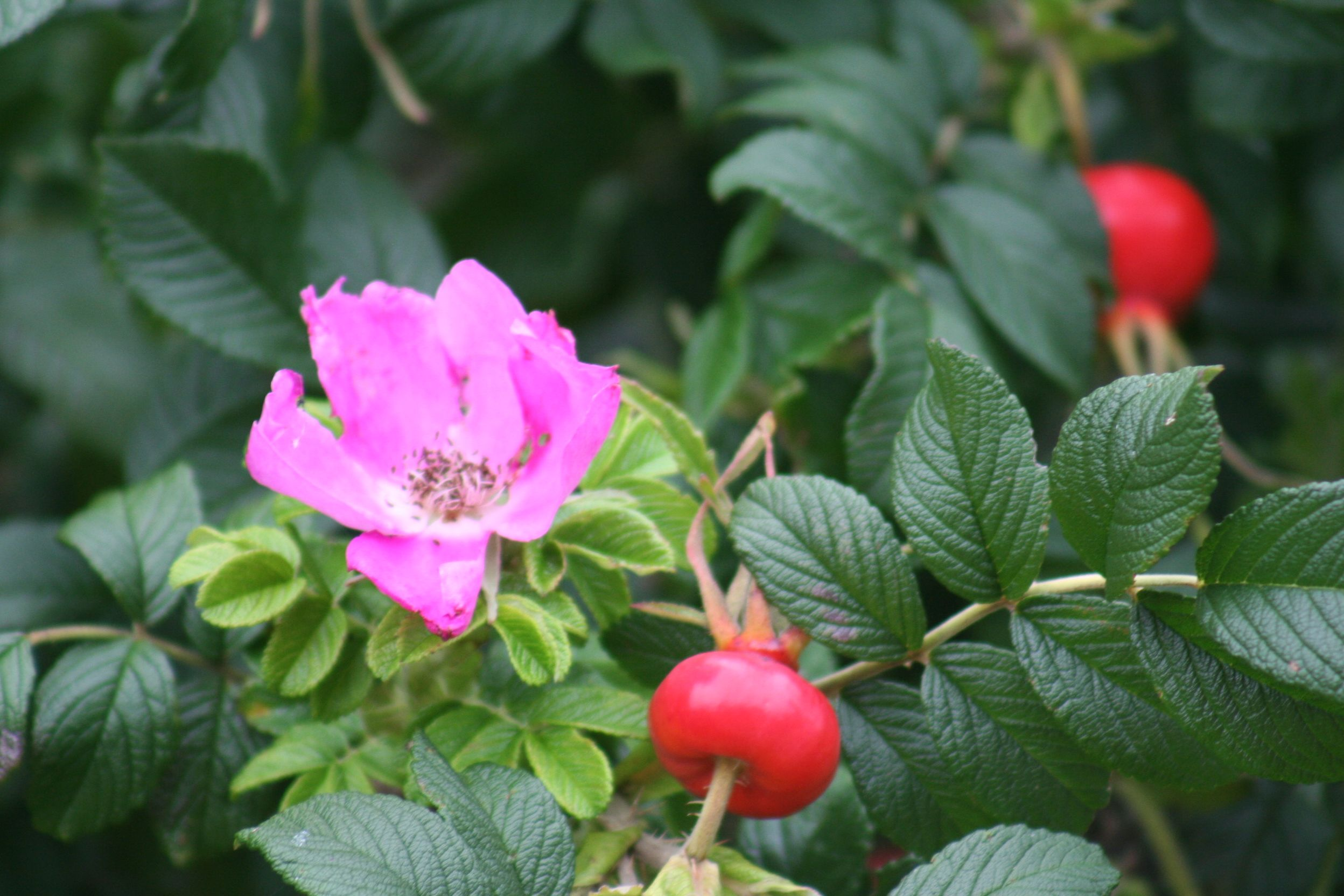 Cape Cod beach plum rose
