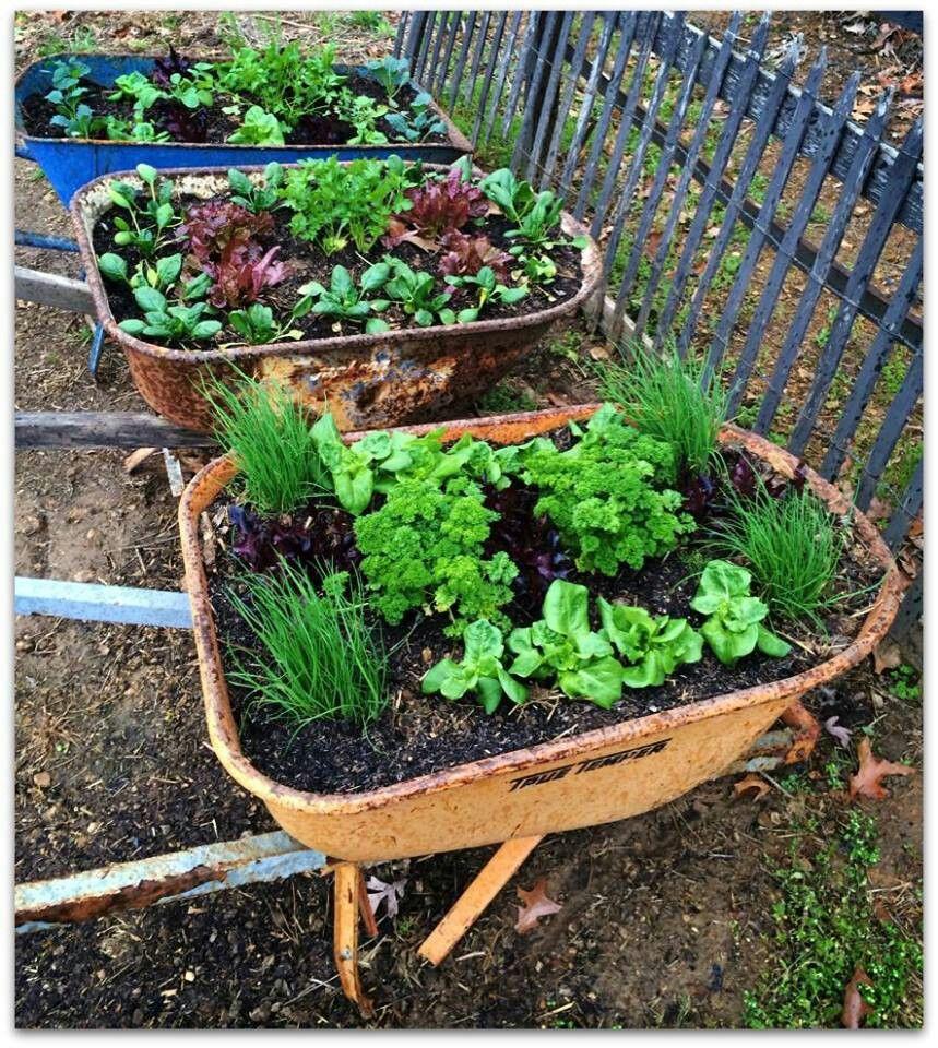 Raised Veggie Gardens In Recycled Wheelbarrows Recycled Garden