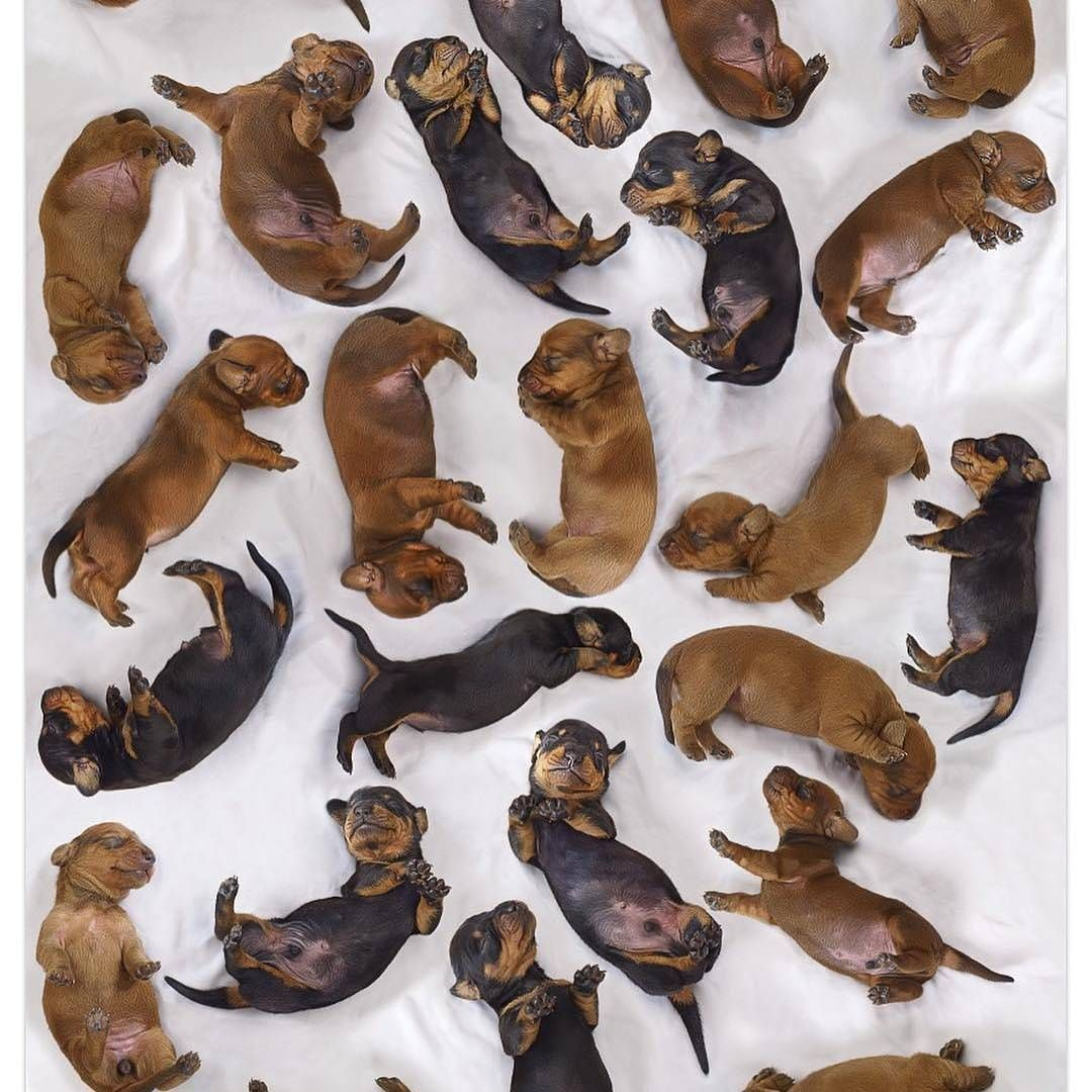 Christmas Countdown Check Out Our Store For The Best Dachshund Tees Mugs Leggings And Gift Ideas Tap Link In Our Bio With Images Dachshund Puppies Dachshund Puppy Black