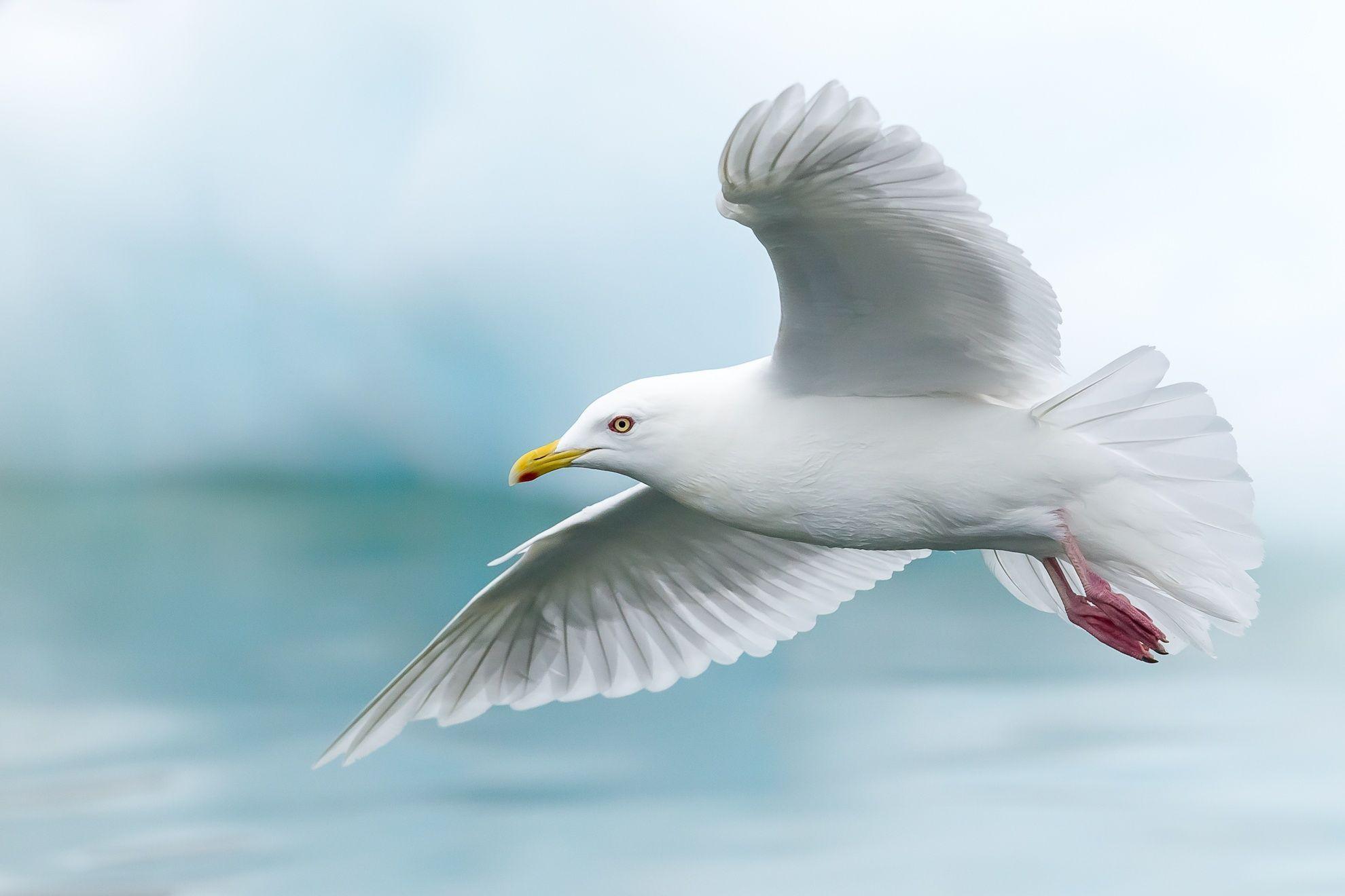 iceland gull larus glaucoides ilulissat greenland