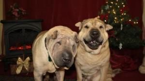 Daddy Boy And Teddy Bear Is An Adoptable Shar Pei Dog In Huddleston Va You Can Fill Out An Adoption Application Online On Our Dog Adoption Shar Pei Dog Dogs