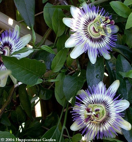Plantfiles Pictures Blue Passion Flower Hardy Passionflower Passion Vine Passionvine Passiflora Caerule Chain Link Fence Growing Vines Blue Passion Flower