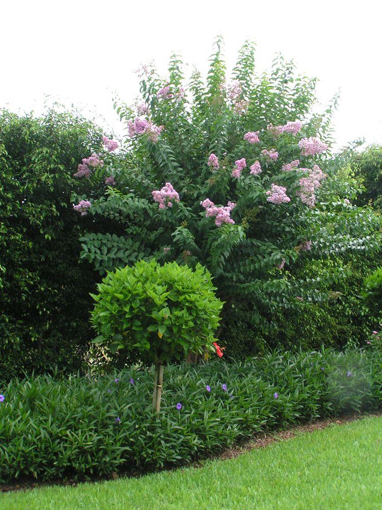 Charmant Accents U0026 Topiaries | Delray Garden Center, Crepe Myrtle