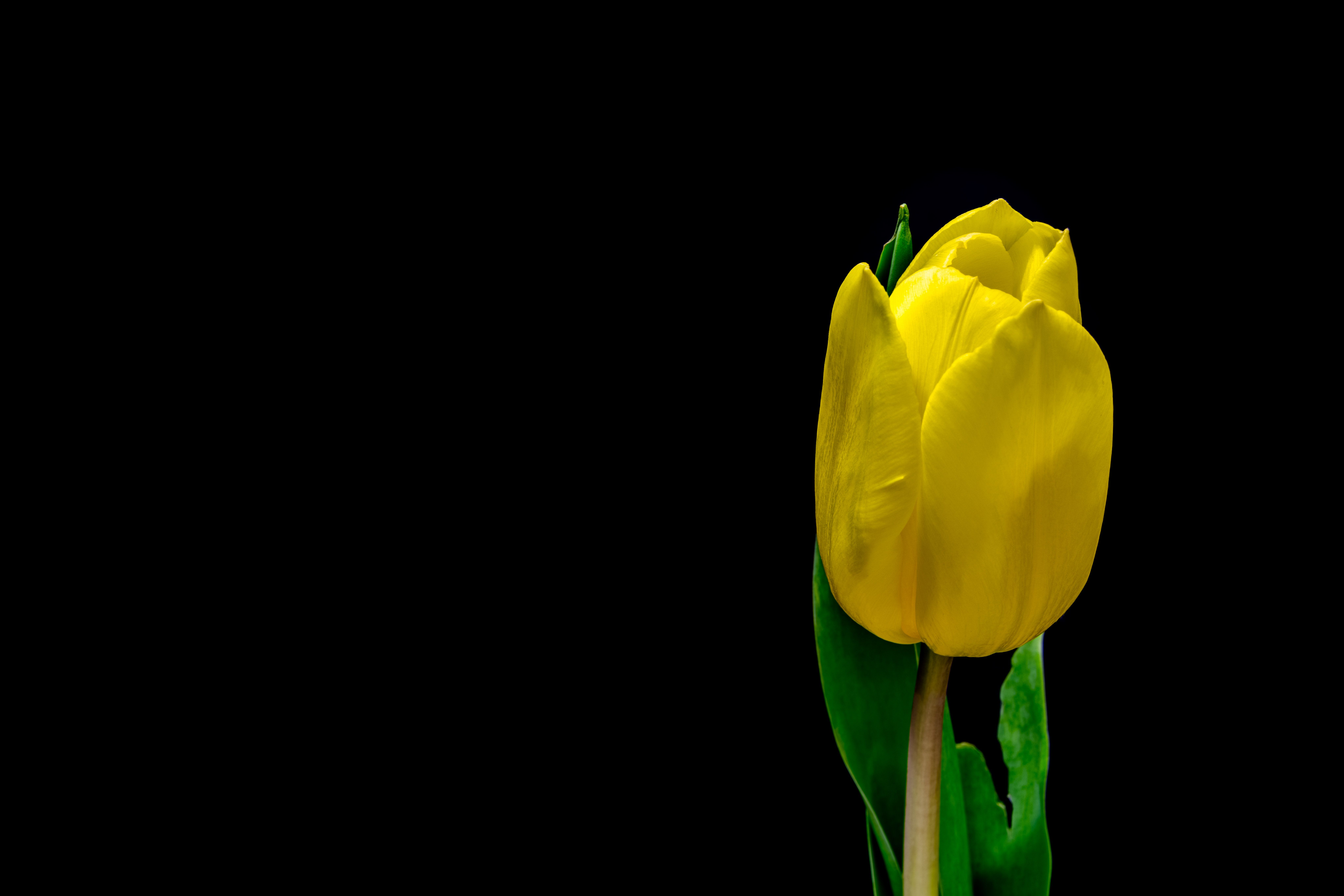 Yellow Tulip Growing Against A Black Background Yellow Flower Pictures Yellow Flower Wallpaper Yellow Plants