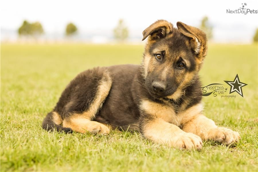 German Shepherd Dog American Kennel Club Right Breed For You