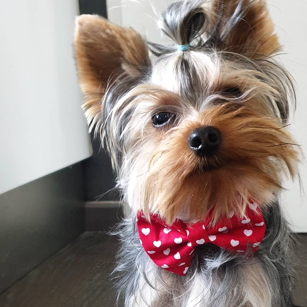 Friends You Loved My Red Bow Tie It S True That I Too Love It A Lot Yorkie Yorkshire Terrier Cute Animals