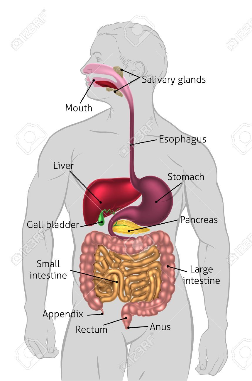Picture Of Digestive System With Labels : picture, digestive, system, labels, Human, Digestive, System,, Tract, Alimentary, Canal.., System, Diagram
