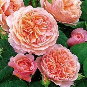 pflanzen rosen englische rosen englische. Black Bedroom Furniture Sets. Home Design Ideas