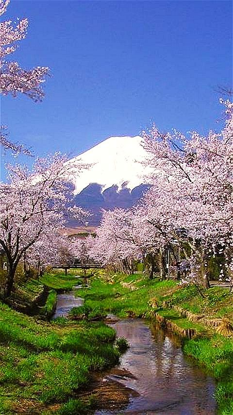 ✯ Cherry Blossoms - Mount Fuji, Japan