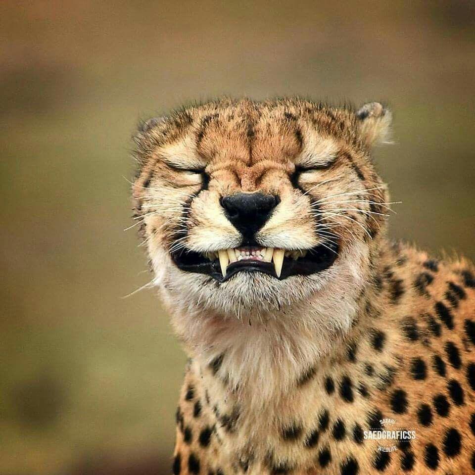 Pin Von Jutta Su Thau Auf Wild Cats Tiere Niedliche Tiere Lachende Tiere