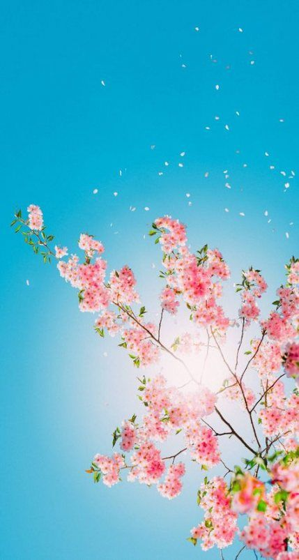 36+ Best Ideas For Flowers Background Photography Cherry Blossoms