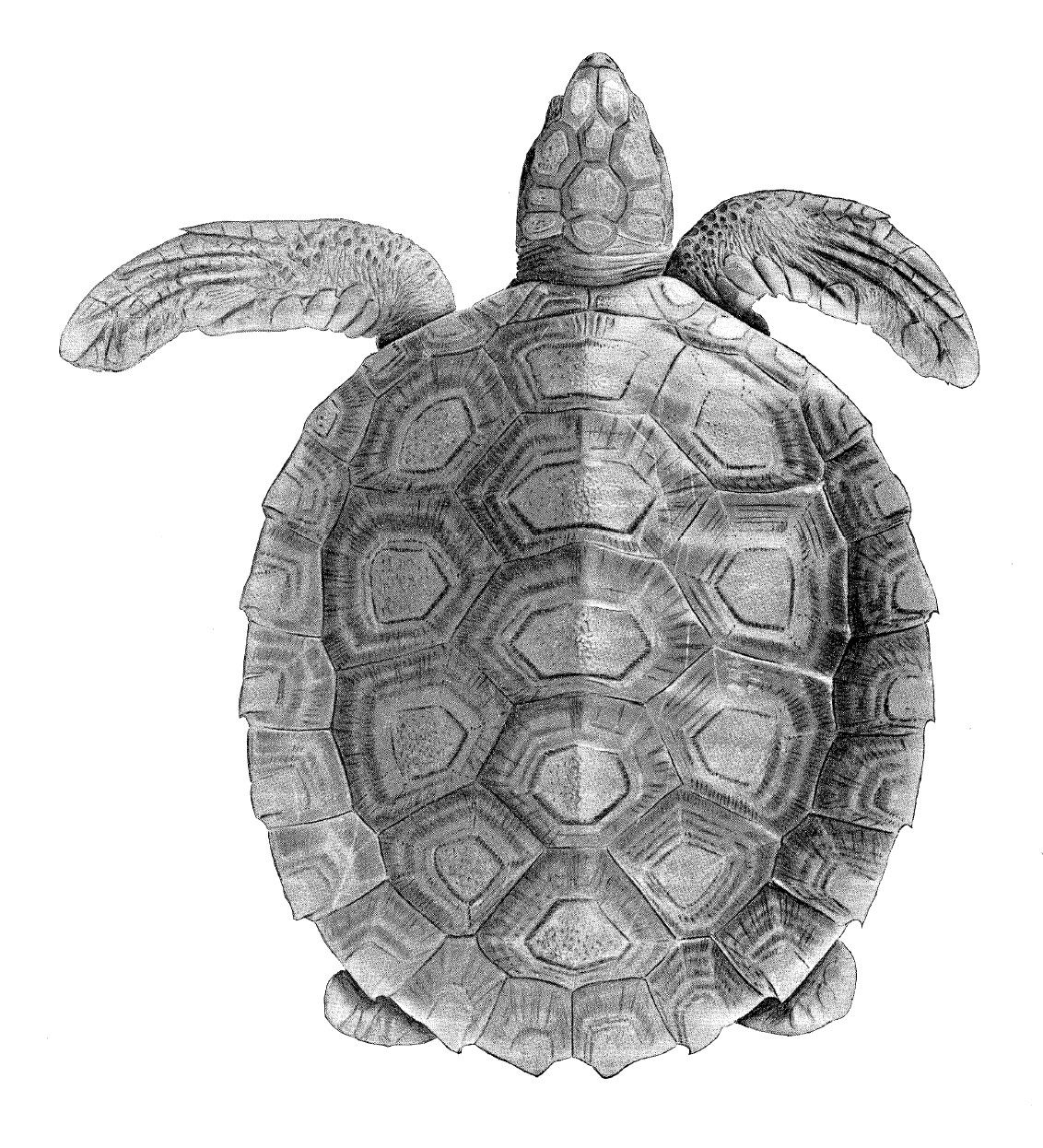 turtle anatomy and physiology - Google Search | Current Reference ...