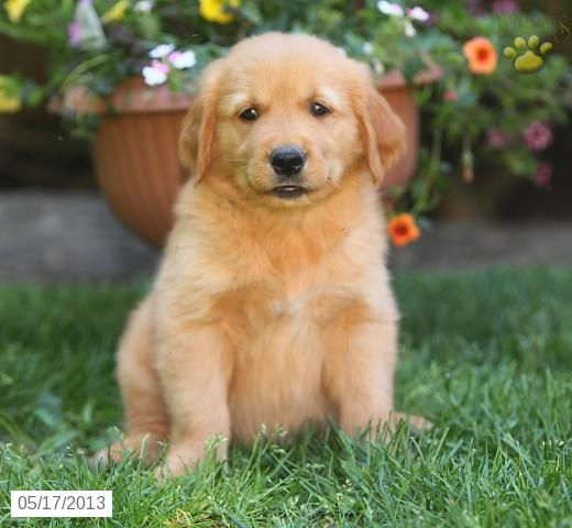 Buster Golden Retriever Puppy For Sale In Ephrata Pa Golden