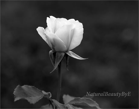Photograph of white rose black and white flower photography nature photography wall