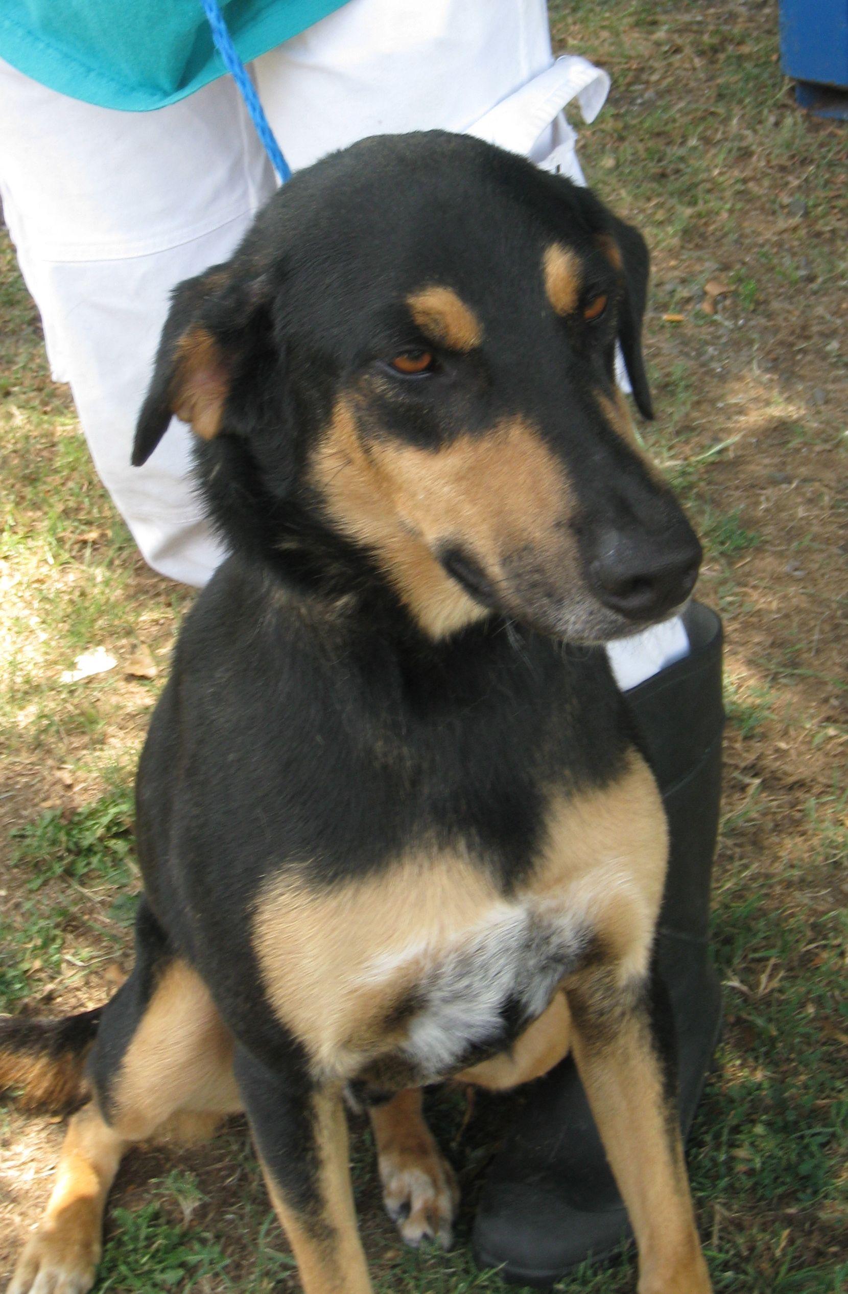 tan german shepherd lab mix puppy wwwimgkidcom the
