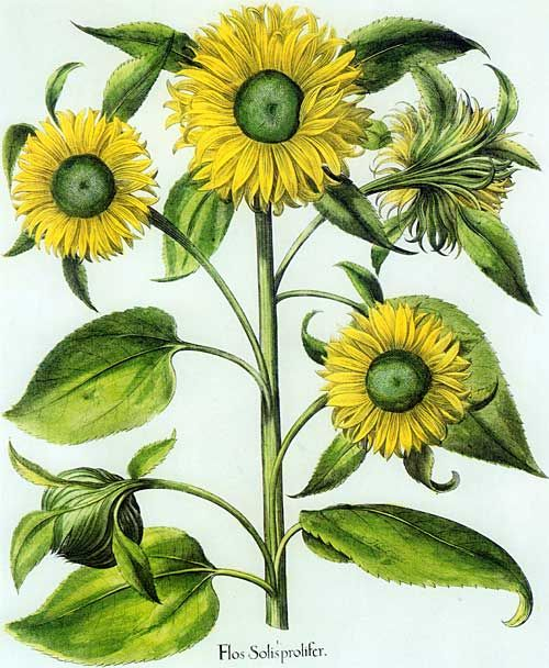 Basilius Besler's Hortus Eystettensis, first published in 1613, illustration of Helianthus multiflorus, the sunflower -