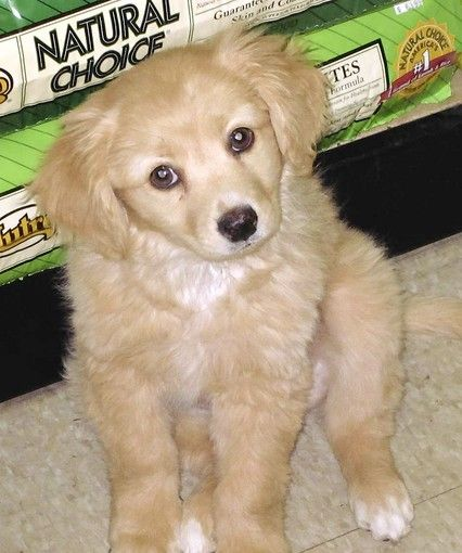 Golden Retriever And Dachshund Mix - Cat Breeds for sale